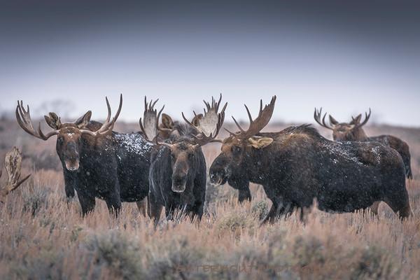bull moose, Wyoming,grand teton national park