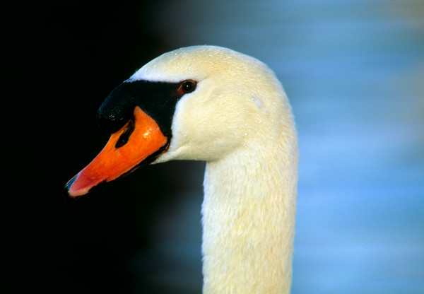 Art photo of the Mute Swan.