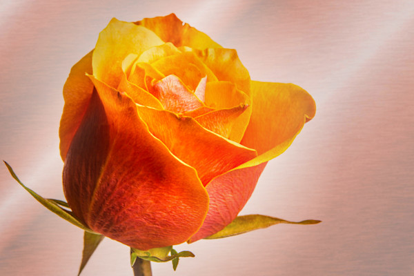 Orange Rose Art Photographs for Canvas Prints or Metal Wall Art