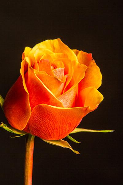 Orange Rose Art 1625.54