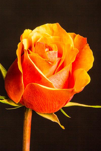Orange Rose on Black Wall Art 1625.51