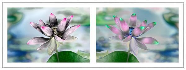 Lotus Flower photography, art photographs of Lotus flowers,
