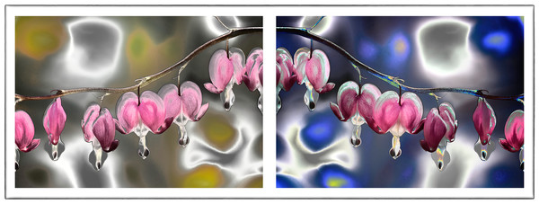 Bleeding Heart flower photographs, art photography of Bleeding Heart flowers,
