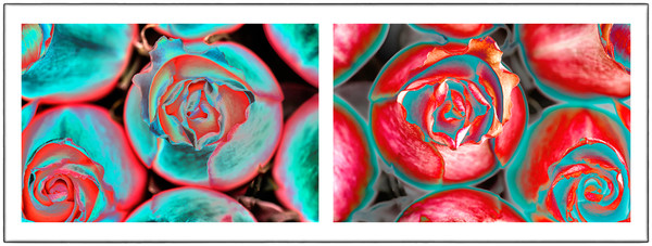 rose photography, art photographs of roses, solarized rose photography,