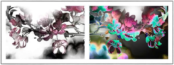 solarized photographs of flowers, creative photographs of cherry blossom flowers, art photographs of flowers,