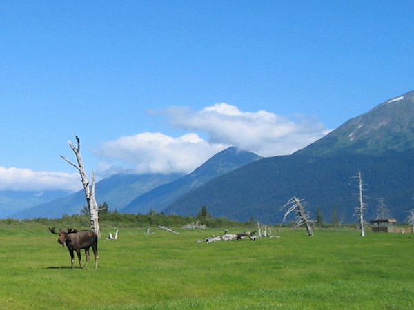 Moose In Seward Photograph Art For Sale