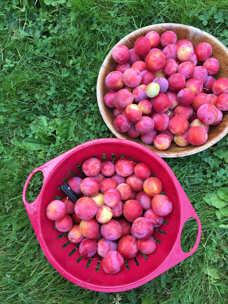Plums from Up North