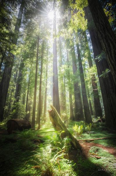 Redwood Awakening Photographic Art