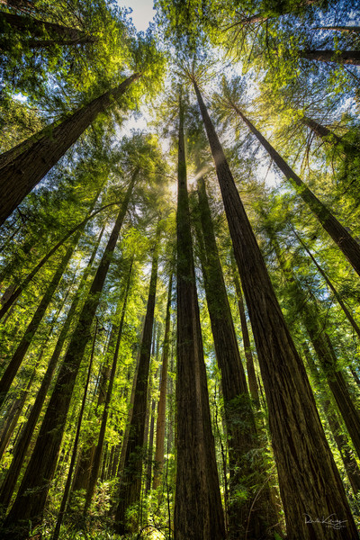 Rays of the Redwoods Photographic Art