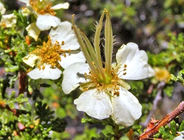 White Cliff Roses