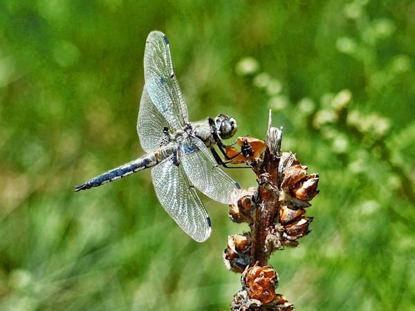 Dragonfly at Woods Canyon Lake