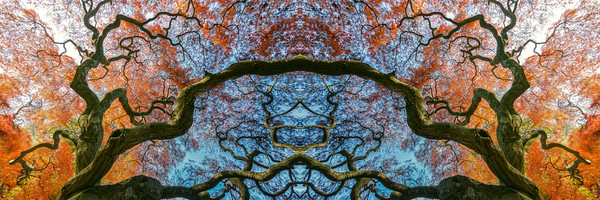 Japanese Maple tress, fall leaves, abstract art photographs,