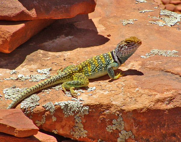Collared Lizard on Red Rock