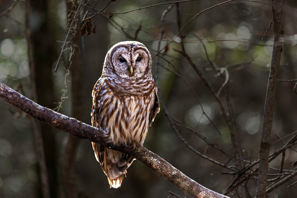 Barred Owl Perch