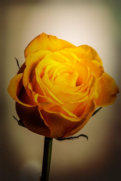 Wall Art Yellow Rose Image 1625.03
