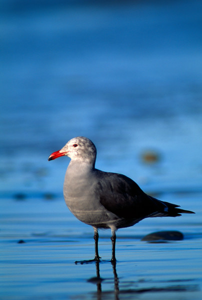 Heermann's Gull