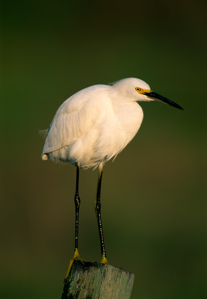 Snowy Egret standing on a pole