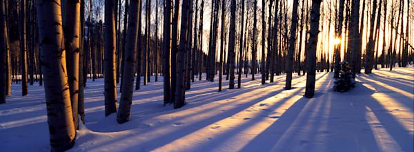 COL-T025 • Aspen Grove, Winter