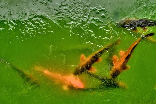 Koi Fish Under Ice
