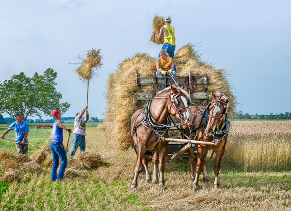 Loading the Wheat Shocks For Threshing Farm Horse Team fleblanc