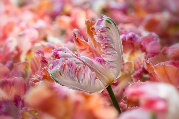 colorful art photographs of Parrot Tulips, pictures of fields of Parrot Tulips, peach and pink colored Parrot Tulips,