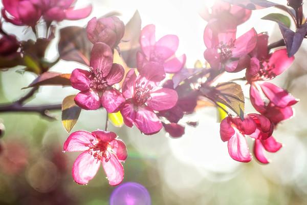 art photographs of cherry blossoms, art photographs of red flowers, pictures of cherry blossom flowers,