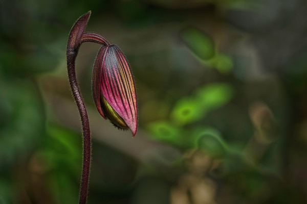 art photographs of Lady Slipper orchids, photographs of orchids, pictures of orchids still in bud form,