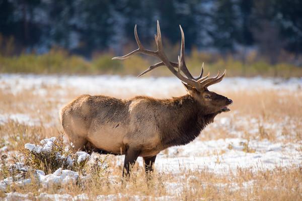 Photo of Large Bull Elk Bugling in Rutting Season Rocky Mountain National Park Colorado