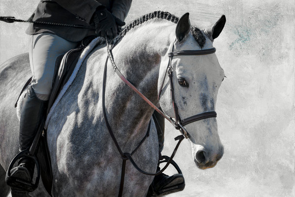 Grey hunter horse with braids