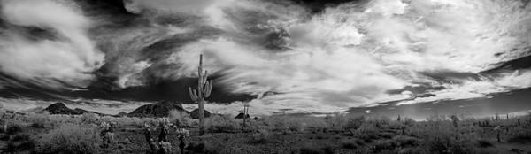 One Saguaro