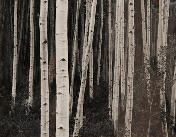 Aspen Forest, Dusk original fine art photograph by John Sexton