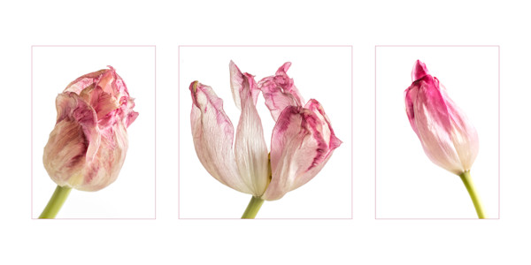 Three pink and white tulips in the art of decay.