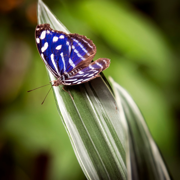 Myscelia cyaniris also known as The Blue Wave, Blue-banded Purplewing, Tropical Blue Wave, Whitened Bluewing, or Royal Blue butterfly.