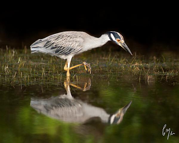 The Yellow-Crowned Night Heron