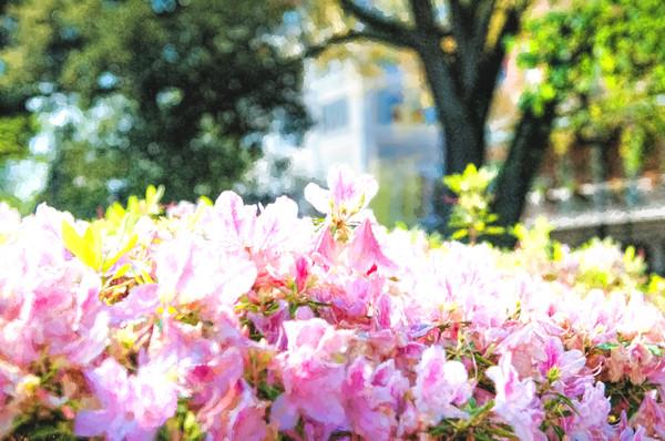 Pink NOLA Azaleas