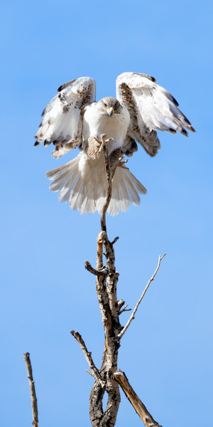 Red-Tailed Hawk landing atop a dead tree.