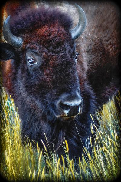 Bison Number 3 A Tilt of the Head.