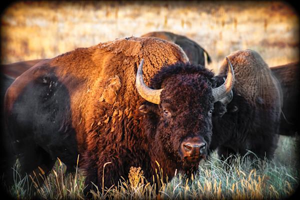 Bison Number Two Keep a Safe Distance