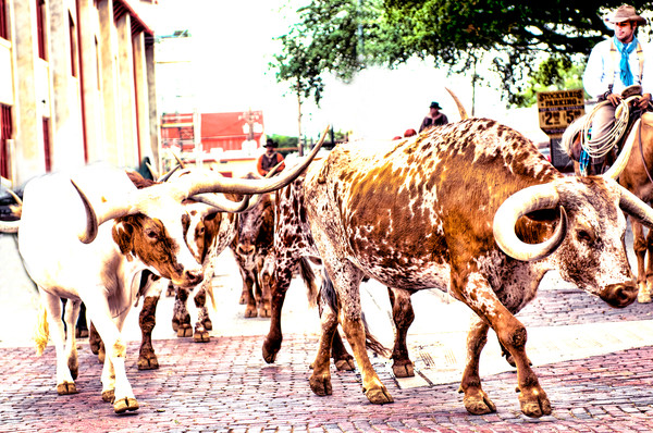 The Herd on the Move at Noon in the Stockyards Photograph