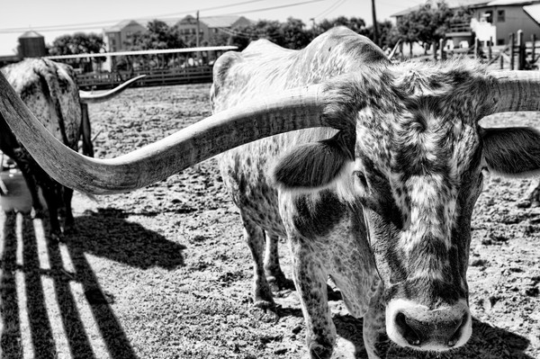 Longhorn Cattle from the Herd in FW, BW