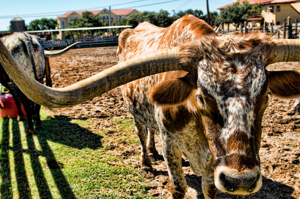Longhorn Cattle in the Herd at the Stockyards