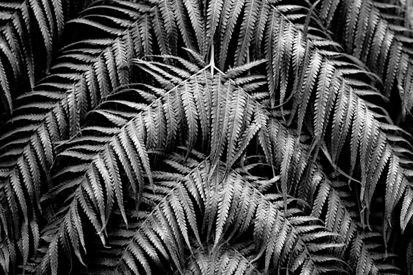 black and white photography of fern plants