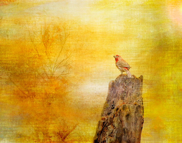 House Finch Fine Art