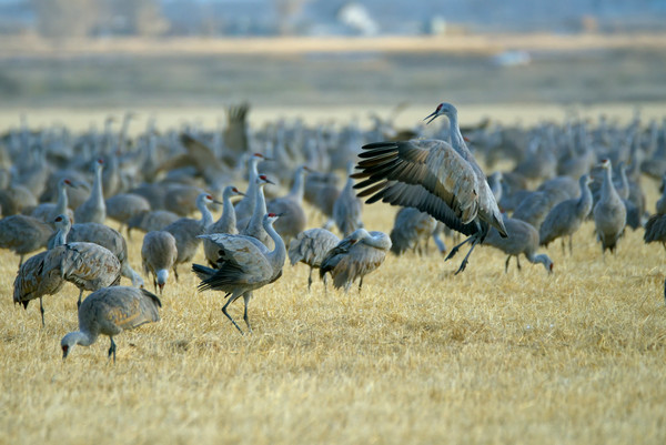 Greater Sandhill Cranes (Grus canadensis tabida)