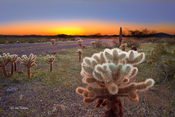 Desert Cholla Cactus bathed in the light of a beautiful sunset.