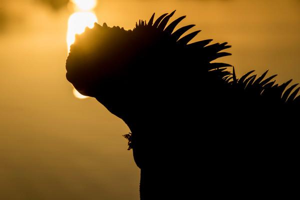 Marine Iguana kissing the sun