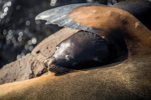 Sea lion pup nursing under mothers flipper