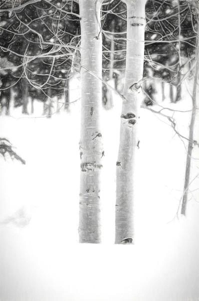 Colorado Aspen Tree in BW