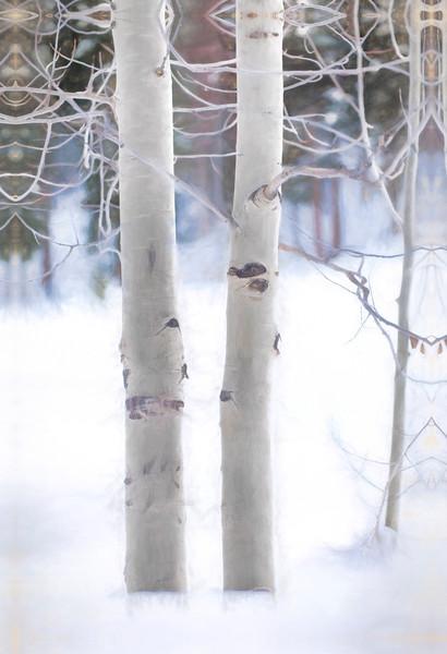 Colorado Aspen in Snow