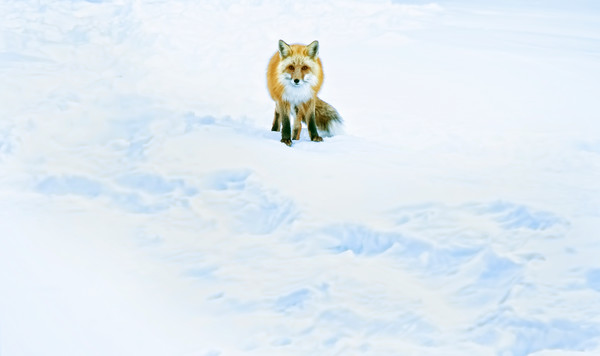 Fox in the Snow in Colorado